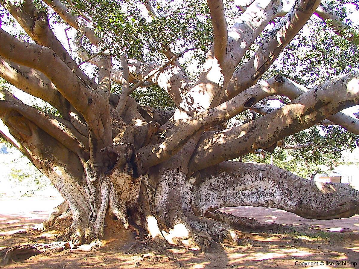 Myanmar, Pindaya, 300 Jahre alter Banyanbaum