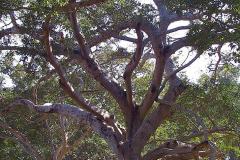 Myanmar, Pindaya, Banyanbaum