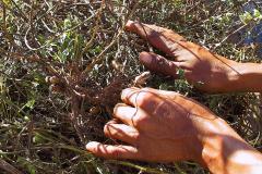 Myanmar, Besuch eines Palmzuckerbetriebes, Erdnüsse