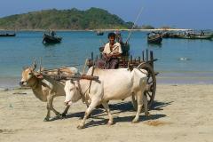 Myanmar, Ngapali Beach, Abtransport der Fische mit Ochsenkarren