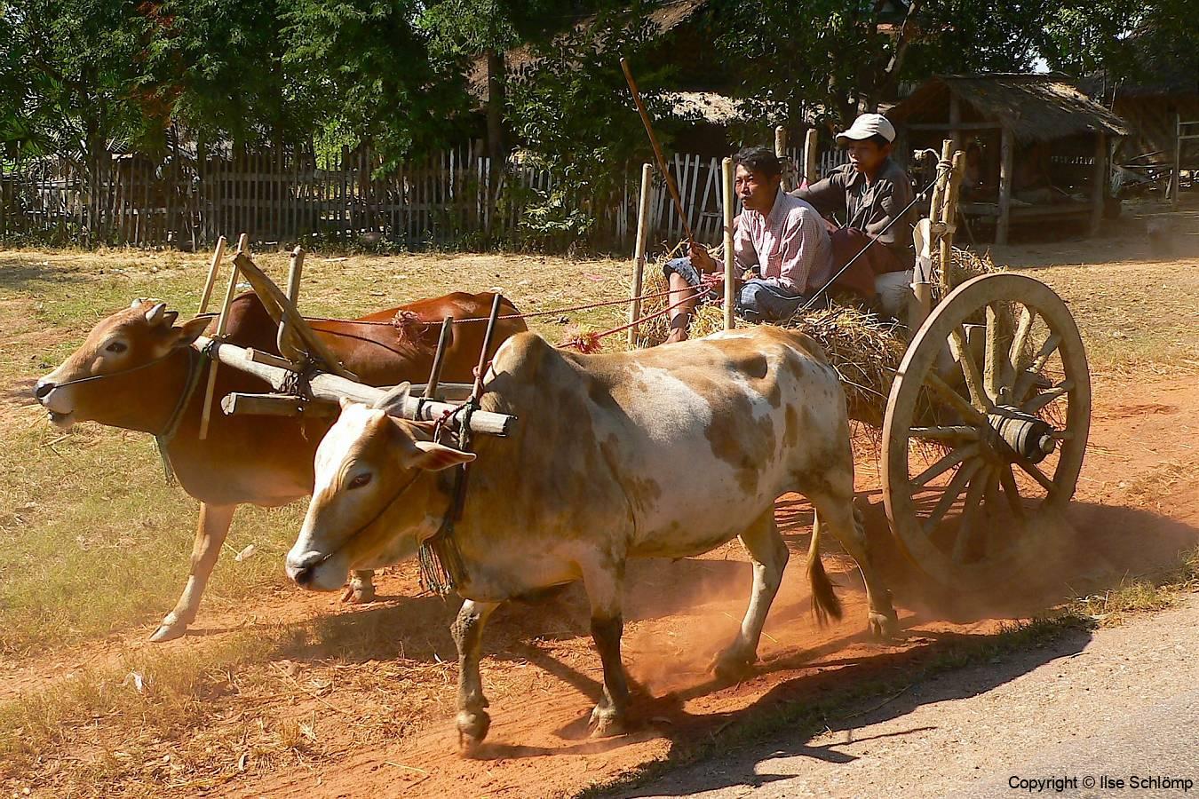 Myanmar, Pyay, Unterwegs nach Pyay begegnen uns Ochsenkarren