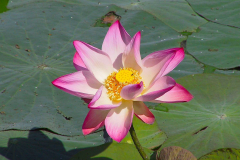 Myanmar, Yangon, Tropischer Garten des Kandawgyi Palace Hotel, Lotus