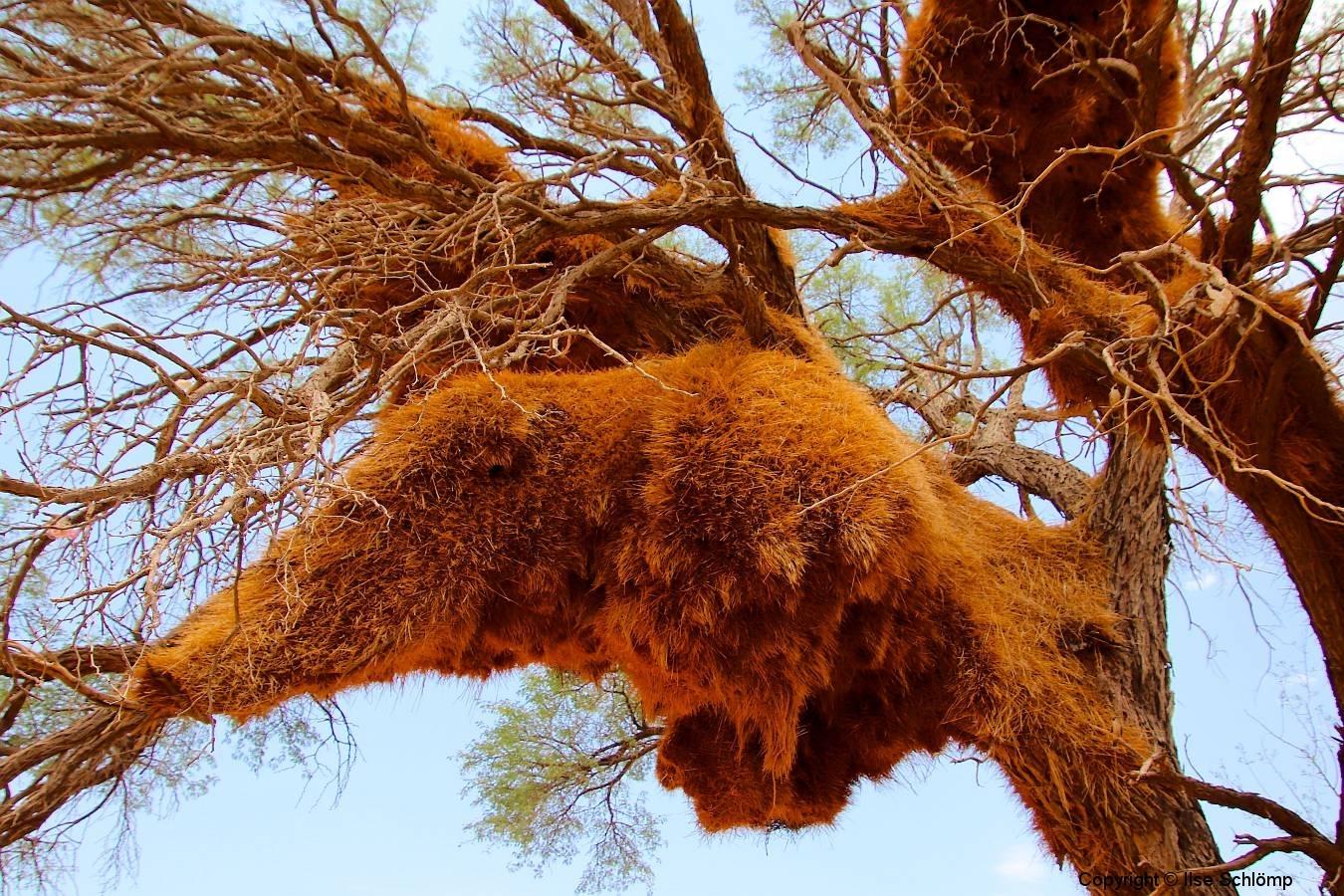 Namibia, Namib Naukluft Nationalpark, Webervogel-Gemeinschaftsnester