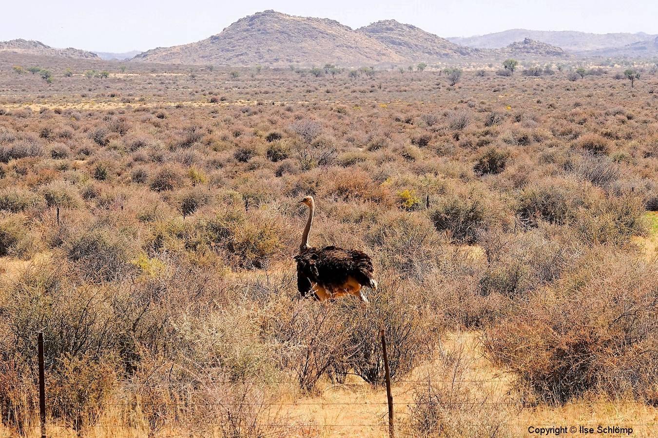 Namibia, Namib Naukluft Nationalpark, Afrikanischer Strauß