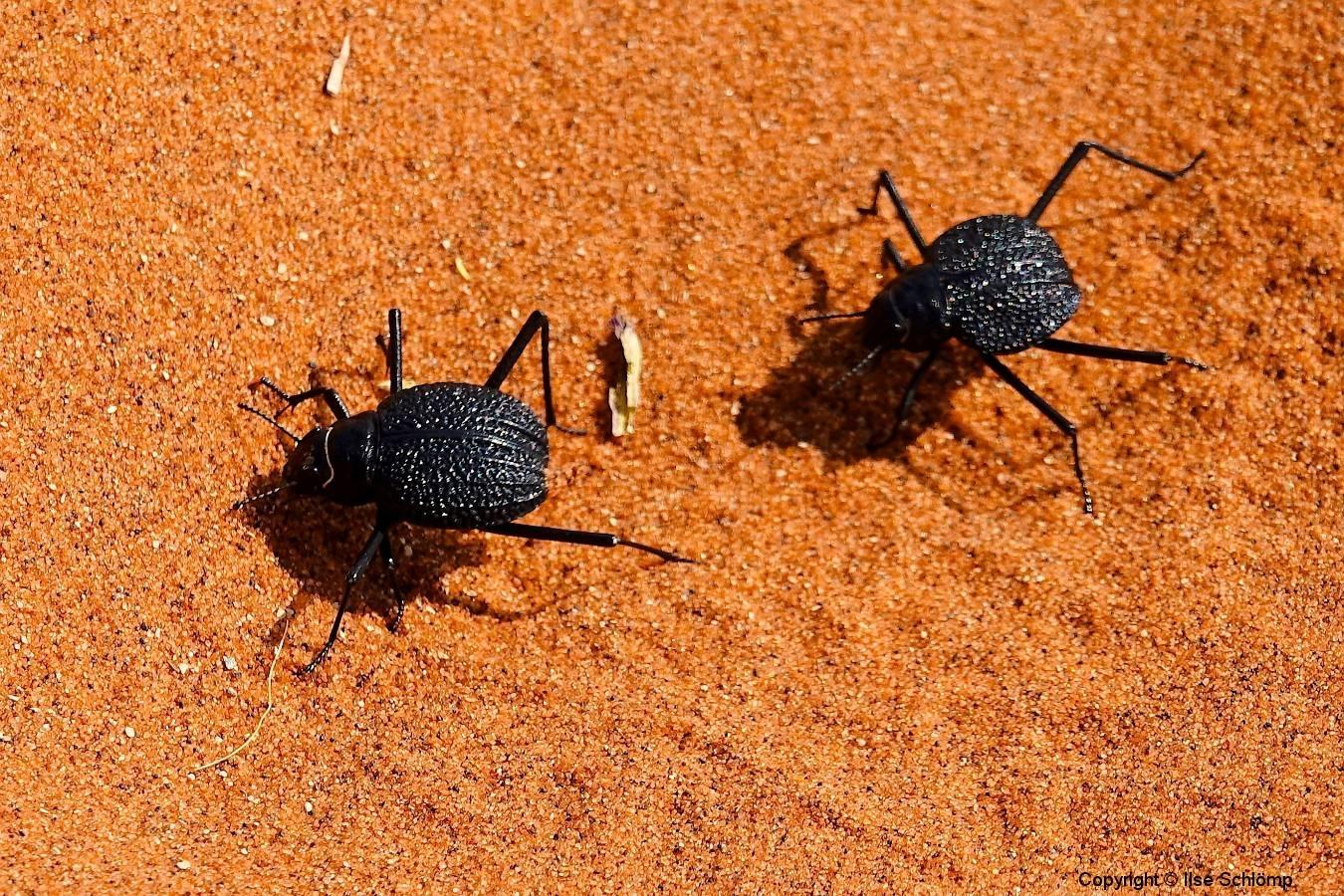 Namibia, Sossusvlei, Schwarzkäfer
