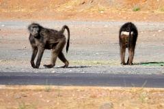 Namibia, Namib Naukluft Nationalpark, Paviane auf der Straße