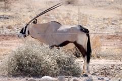 Namibia, Namib Naukluft Nationalpark, Oryx