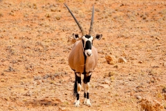 Namibia, Namib Naukluft Nationalpark, Oryx