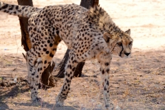Namibia, Otjiwarongo, Cheetah Conservation Fund