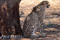 Namibia, Otjiwarongo, Cheetah Conservation Fund_1