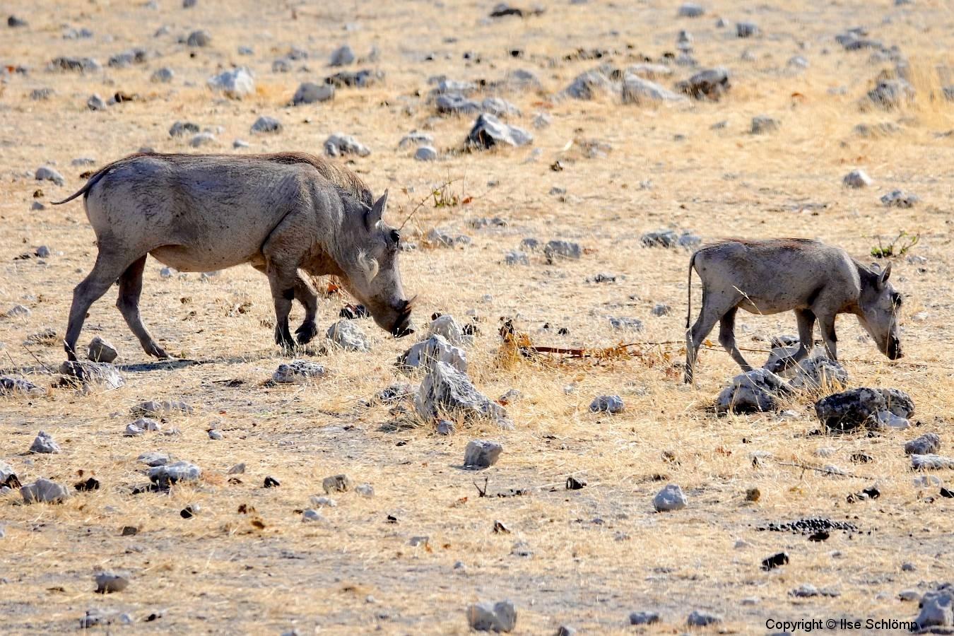 Namibia, Etosha Nationalpark, Warzenschweine