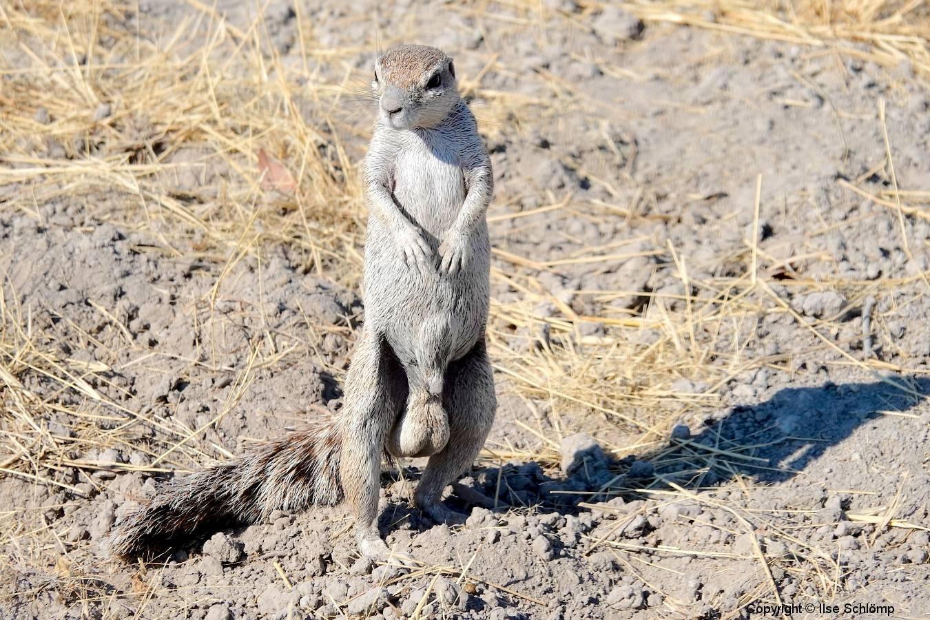 Namibia, Etosha Nationalpark, Borstenhörnchen