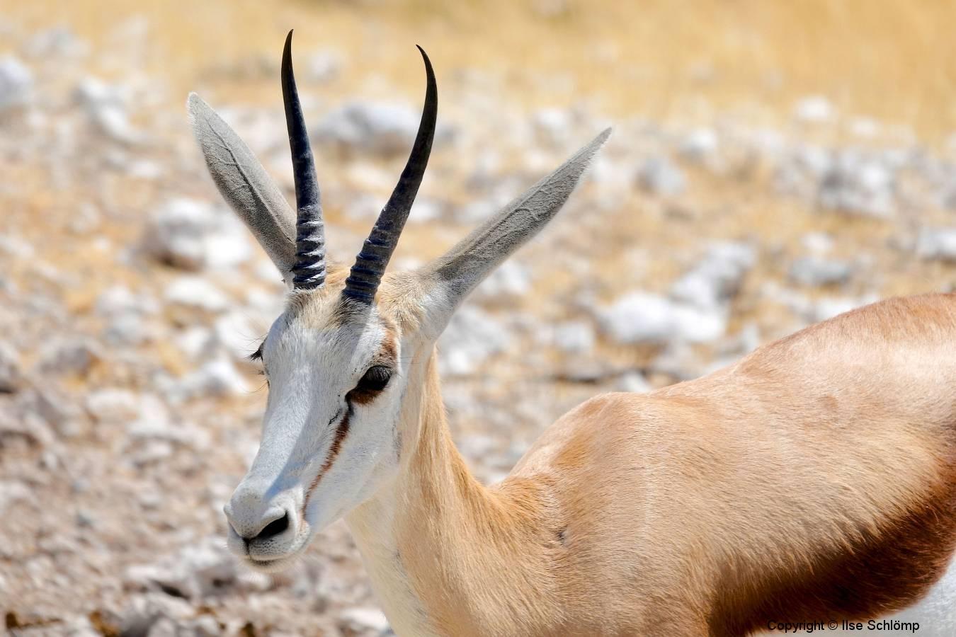 Namibia, Etosha Nationalpark, Springbock