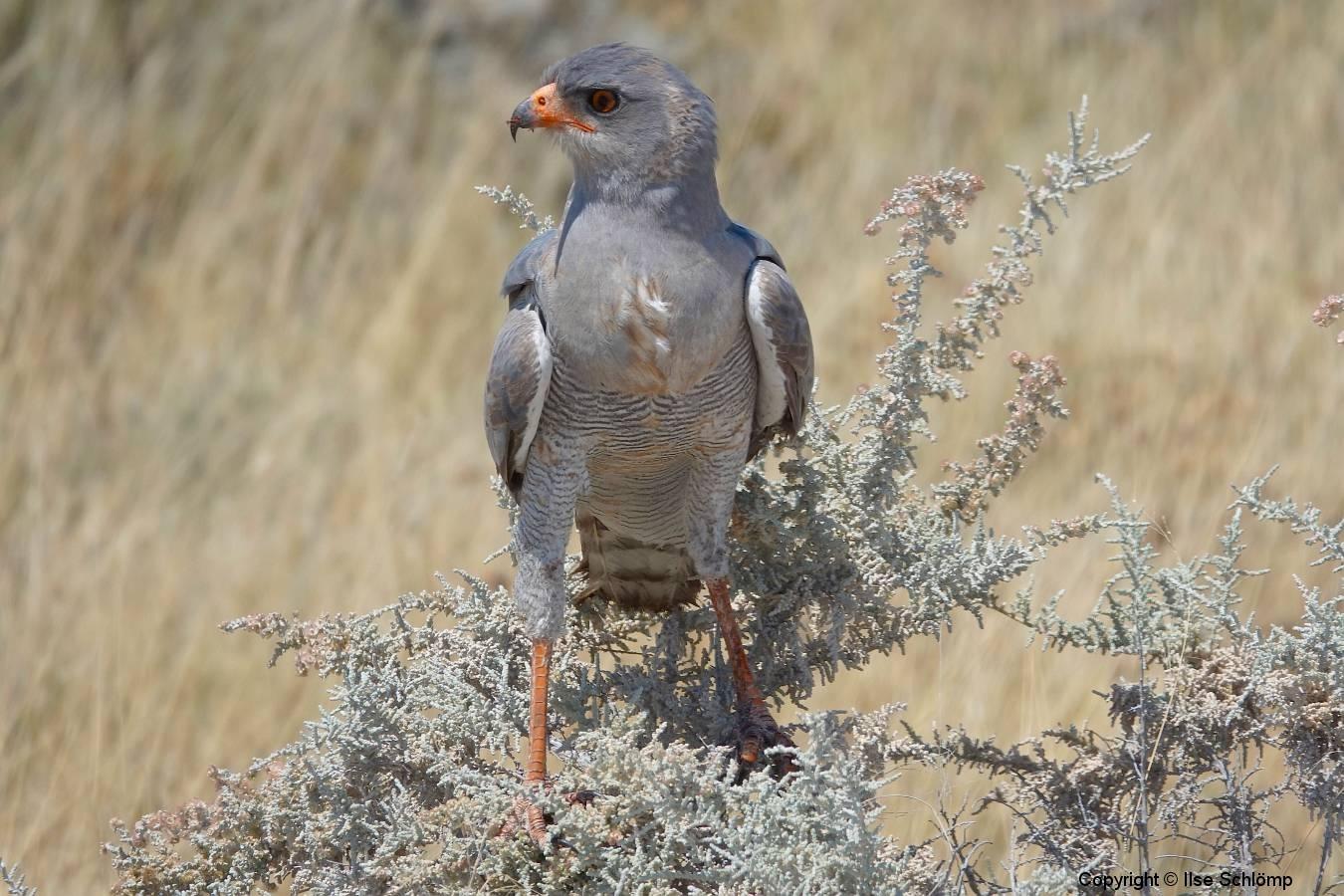 Namibia, Etosha Nationalpark, Schlangensperber