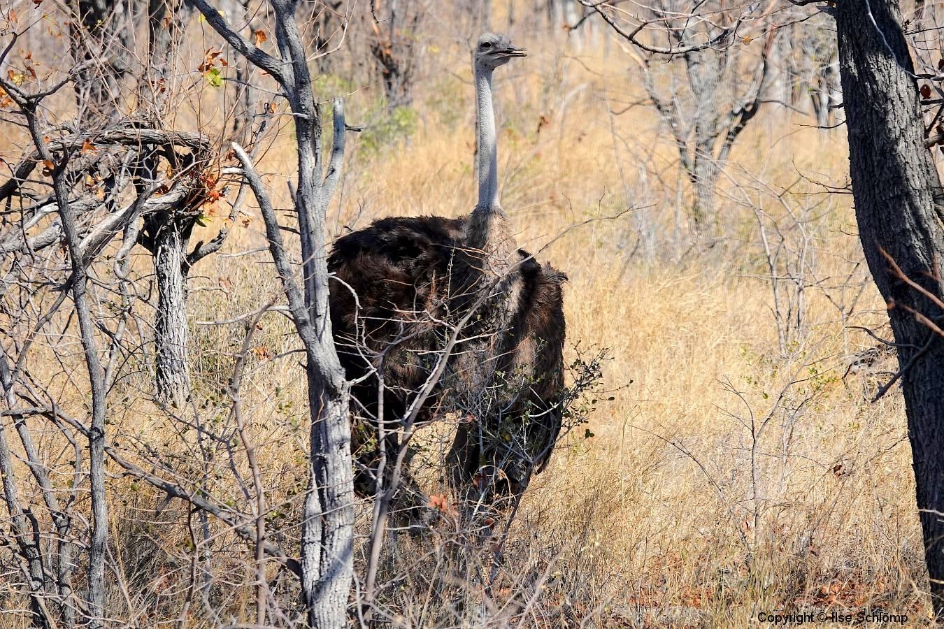 Namibia, Etosha Nationalpark, Afrikanischer Strauß