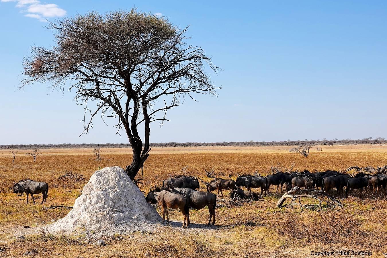 Namibia, Etosha Nationalpark, Streifengnus