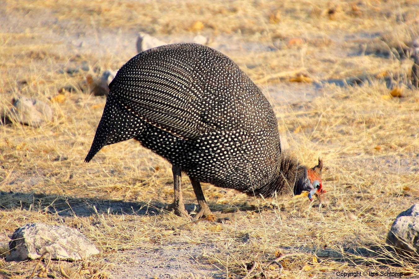 Namibia, Etosha Nationalpark, Perlhuhn