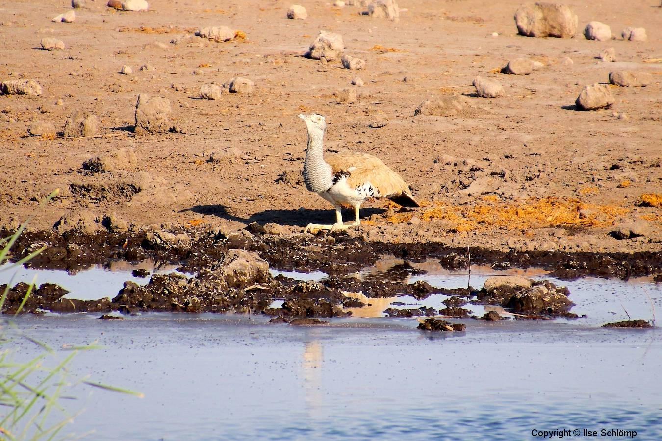 Namibia, Etosha Nationalpark, Riesentrappe am Wasserloch