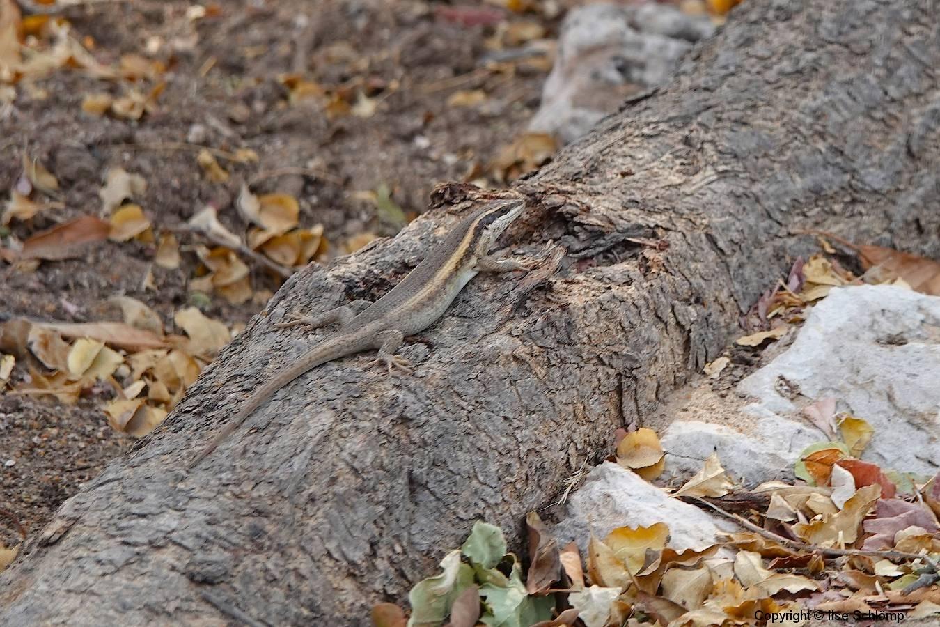 Namibia, Etosha Nationalpark, Fort Namutoni, Eidechse