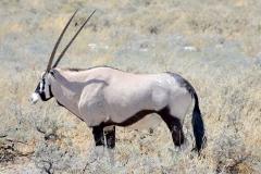Namibia, Etosha Nationalpark, Oryx