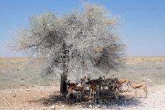 Namibia, Etosha Nationalpark, Springböcke