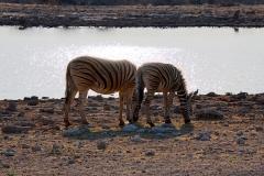 Namibia, Etosha Nationalpark, Zebras, Gegenlichtaufnahme