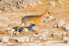 Namibia, Etosha Nationalpark, Dikdik