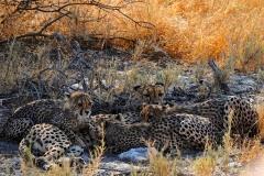 Namibia, Etosha Nationalpark, Gepardenfamilie