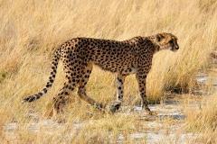 Namibia, Etosha Nationalpark, Gepard
