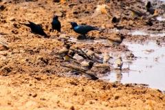 Namibia, Etosha Nationalpark, Vögel am Wasserloch
