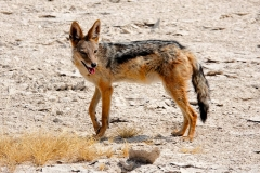 Namibia, Etosha Nationalpark, Schakal
