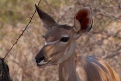 Namibia, Etosha Nationalpark, Großer Kudu