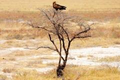 Namibia, Etosha Nationalpark, Raubvogel