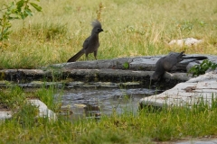 Namibia, Etosha Nationalpark, Fort Namutoni, Grauer Lärmvogel