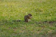 Namibia, Etosha Nationalpark, Fort Namutoni, Eichhörnchen