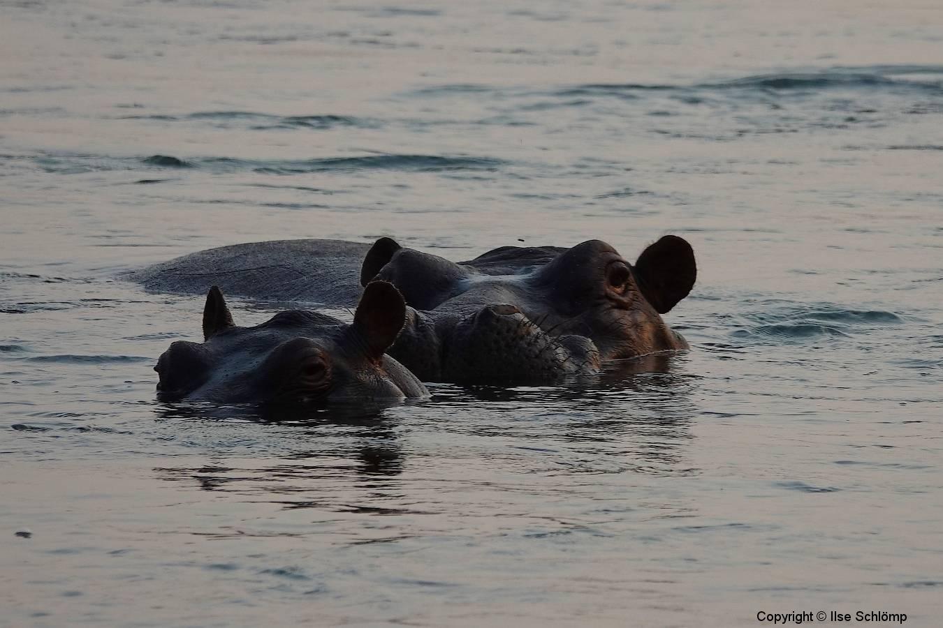 Namibia, Okavango Fluss, Flusspferde