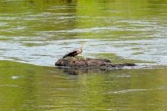 Namibia, Okavango Fluss, Schlangenhalsvogel