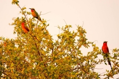 Namibia, Okavango Fluss, Bienenfresser