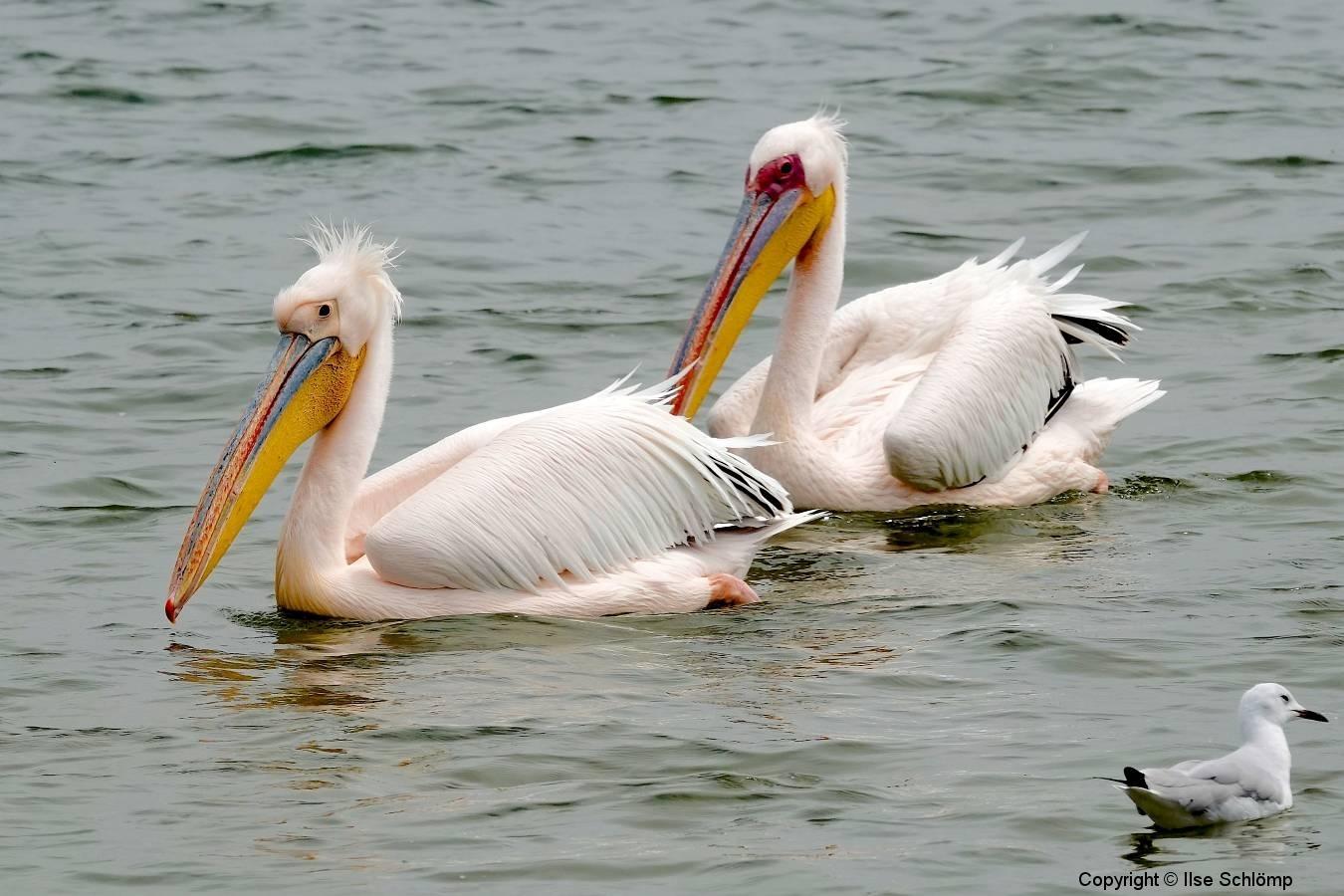Namibia, Walvis Bay, Pelikane