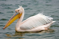 Namibia, Walvis Bay, Pelikan