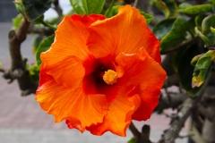 Namibia, Swakopmund, Hibiskusblüte