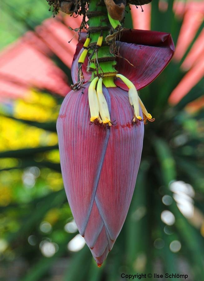 Laos, Ban Nong Khiaw, Bananenblüte