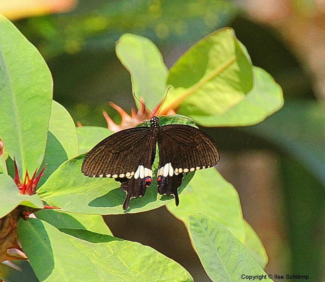Laos, Ban Nong Khiaw, Schmetterling