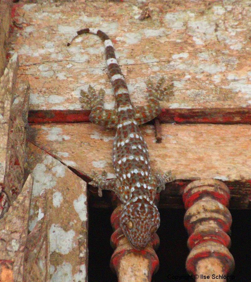 Laos, Pak Ou, Tham Thing, Gecko