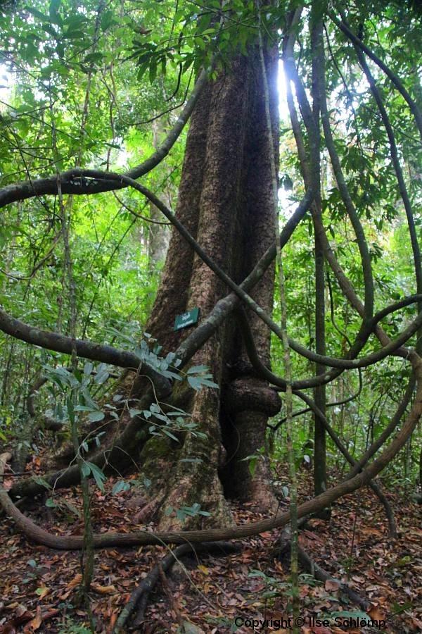Laos, Oudomxay, Nam Kat Yola-Regenwald, Garuga pinnata