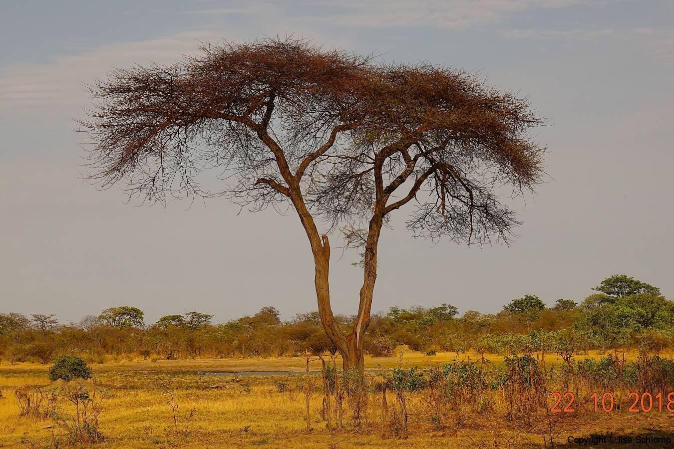 Simbabwe, Hwange Nationalpark, Elephants Eye, Akazie