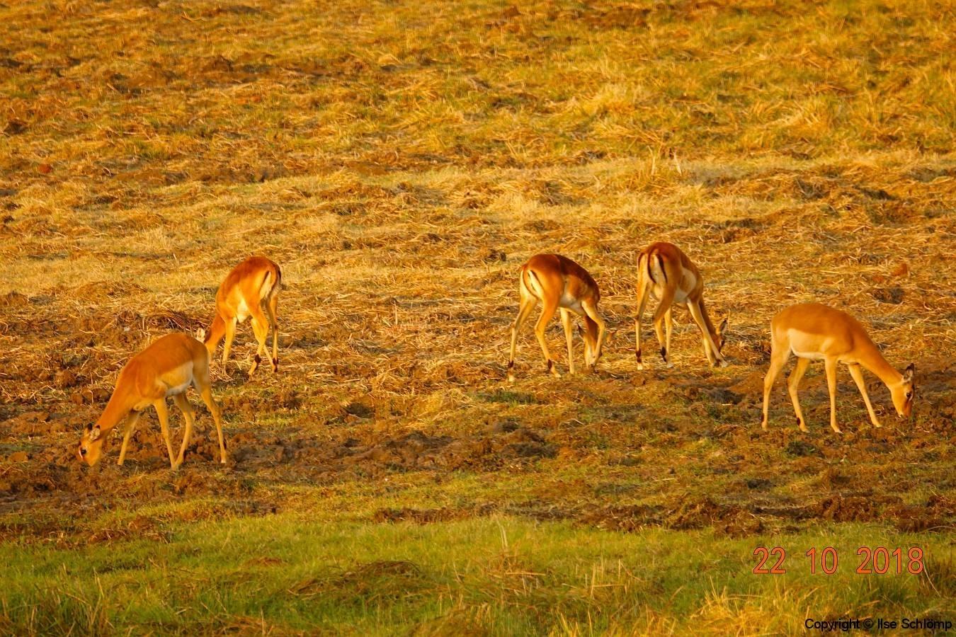 Simbabwe, Hwange Nationalpark, Elephants Eye, Impalas