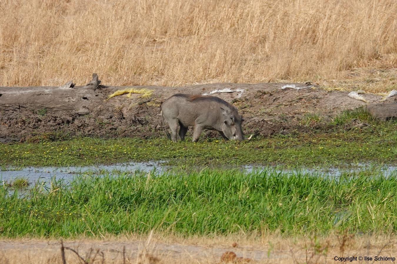 Simbabwe, Hwange Nationalpark, Elephants Eye, Warzenschwein