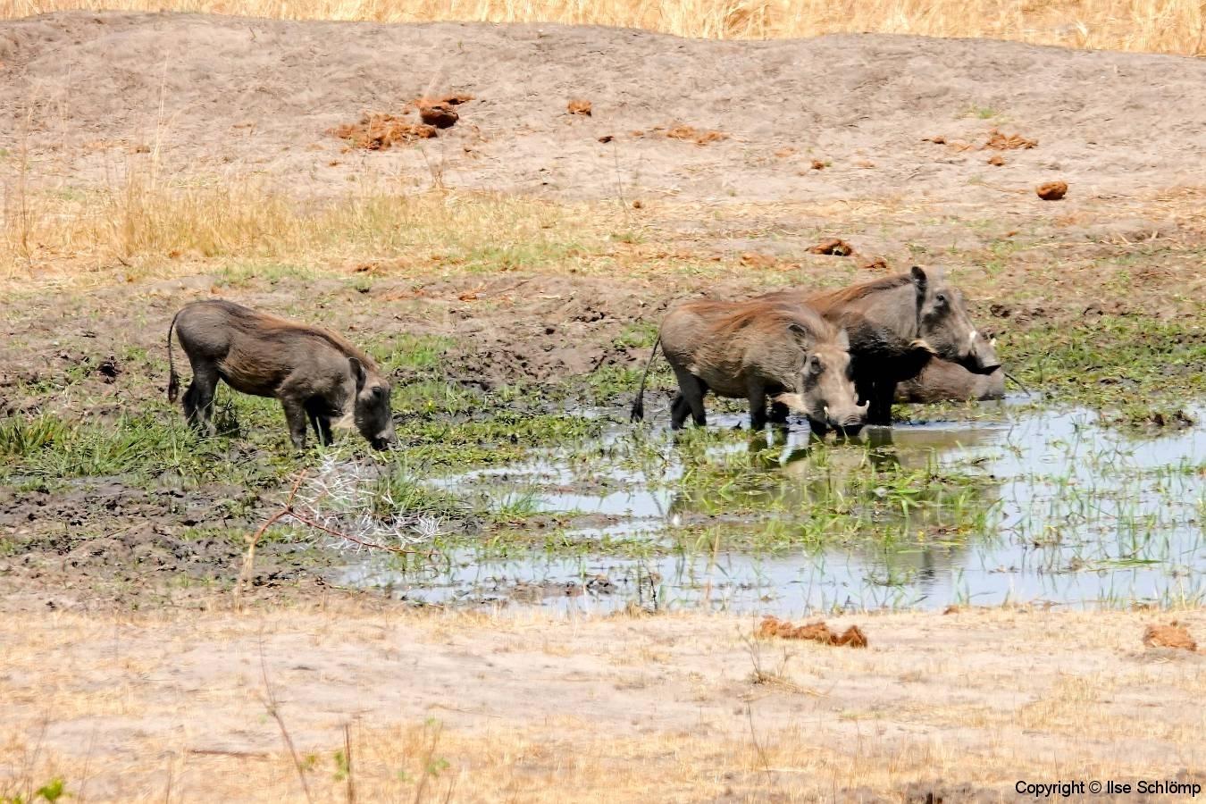 Simbabwe, Hwange Nationalpark, Elephants Eye, Warzenschweine
