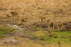 Simbabwe, Hwange Nationalpark, Elephants Eye, Paviane